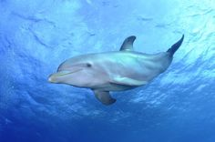 Diving with the dolphins in the open ocean in Curacao