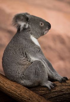 """""""Mom says not to slouch, but hey, it's comfortable and why not. You only live once, so why not enjoy it! Reptiles, Mammals, Animals And Pets, Baby Animals, Baby Giraffes, Wild Animals, Cute Koala Bear, Koala Bears, Wild Life"""