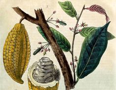 an illustrated example of cacao pods filled with fruit covered cocoa seeds / beans