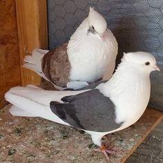 Iranian Funny Animal Videos, Funny Animals, Feral Pigeon, Pigeon Loft Design, Pigeon Pictures, Pigeon Bird, Pottery Marks, Nature Animals, Haiku