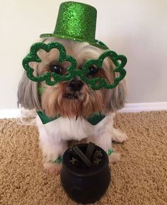 Happy St Patrick's Day! #PotOfTreats #ExcuseToDrinkUp #DontHaveTooManyBadDecisionsTonight ---------------------------------------- This is my entry for #2016marshmadness Histed by @caninestylesnyc and @marshmallowpup09 My name is Shaytoun and I'm from Los Angeles CA #motherpuppa ------------------------------------------- This is my entry for #ShowUsYourBestestSelfie contest hosted in part by @homerpugalicious @michcant @iheartmiles @maya_on_the_move…