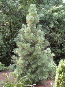Pinus cembra 'Compacta Glauca'. Sosna limba 'Compacta Glauca'