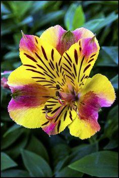 Peruvian-lily / Lily-of-the-Incas: Dwarf Alstroemeria [Family: Alstroemeriaceae]