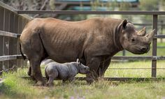 Taronga Western Plains Zoo   Our male Black Rhino calf born on Halloween is doing well under the watchful eye of mother Bakhita.