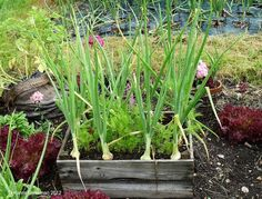 A Beginner's Guide to Companion Planting in an Organic Garden Slugs In Garden, Garden Pests, Garden Insects, Garden Bugs, Growing Vegetables In Containers, Organic Insecticide, Vegetable Garden Tips, Insect Pest, Companion Planting