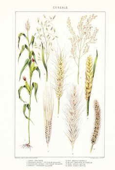 1909 Botany Print - Cereal Grains - Vintage Antique Art Illustration Book Plate Natural Science Great for Framing 100 Years Old Botanical Drawings, Botanical Illustration, Botanical Prints, Illustration Art Drawing, Art Drawings, Flower Catalogs, Flora Design, Tattoo Project, Plant Painting