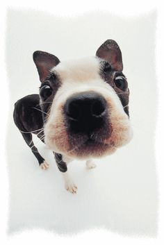 Uplifting So You Want A American Pit Bull Terrier Ideas. Fabulous So You Want A American Pit Bull Terrier Ideas. Toy Fox Terriers, Bull Terrier Dog, Boston Terrier Love, Boston Terriers, Cute Dogs, Cute Puppies, Mans Best Friend, Best Dogs, Fur Babies