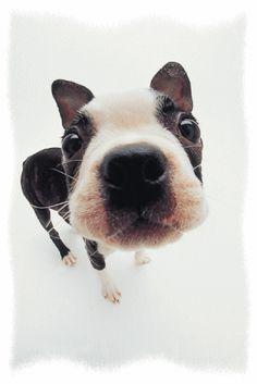 Boston terrier!