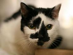BLAIR is an adoptable American Shorthair Cat in New York, NY.  ...