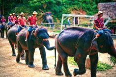 Elephants and their trainers.