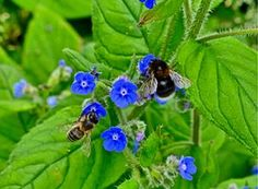 Two bees on wild flowers along the banks of the River Thames, Henley on Thames, Britain
