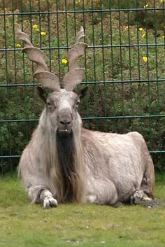 The markhor (Capra falconeri), a endangered species of wild goat is the national animal of Pakistan. Unusual Animals, Rare Animals, Extinct Animals, Beautiful Creatures, Animals Beautiful, National Animal, Tier Fotos, Mundo Animal, Animals Of The World