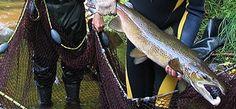 Welcome to the Miramichi Salmon Association - Miramichi Salmon Association Atlantic Salmon, Fishing, Sup Fishing, Salmon, Peaches, Pisces