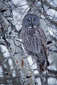 Great Gray Owl- Josiah's favorite owl