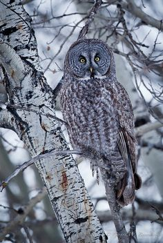 Great Gray Owl- Josiah's favorite owl