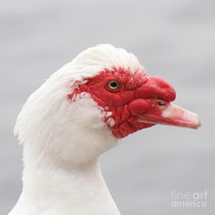 Love that face! Such sweet, loyal animals. (domestic Muscovy duck)