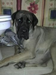Molly is an adoptable Mastiff Dog in Glendale, AZ. Meet Molly- Molly is a sweet 12 month old fawn female Mastiff. Molly is house trained and great with other dogs and we will test with cats. Molly is ...