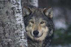 Google Image Result for http://3.bp.blogspot.com/-EN7fwWzrVVE/T06bXNF-0GI/AAAAAAAAAFo/YbnKBwKgBcM/s1600/wolves_1.jpg