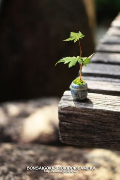 ミニ盆栽 もっと見る