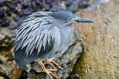 Lava or Galápagos Heron - endemic to Galápagos Islands