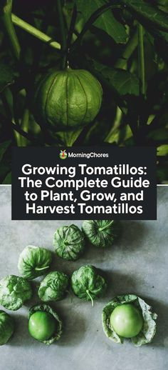 Tomatos Gardening Growing Tomatillos: The Complete Guide to Plant, Grow, and Harvest Tomatillos - Forget tomatoes, growing tomatillos is where it's at. The fuss-free fruits are tasty and simple to grow at home - here's all you need to know to get going. Planting Vegetables, Planting Seeds, Growing Vegetables, Veggies, Transplanting Plants, Growing Tomatoes In Containers, Grow Tomatoes, Backyard Vegetable Gardens, Irrigation