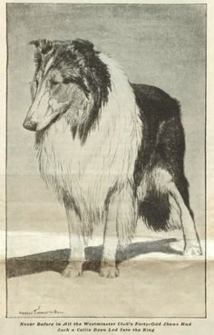 Never before in all the Westminster Club's forty-odd shows had such a collie been led into the ring...