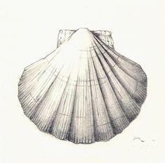 Sea Shell by Taiyo85 on DeviantArt