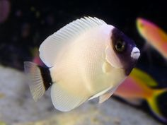 16 Saltwater Fish You Dream About Owning. Examples of the most expensive saltwater fish with prices and reasons why they are so expensive. Saltwater Fish Tanks, Tropical Fish Tanks, Saltwater Aquarium, Saltwater Angelfish, Underwater Creatures, Underwater Life, Ocean Creatures, Marine Aquarium, Marine Fish