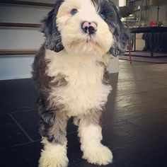 What's a Monday, dad? Chihuahua Puppies For Sale, Dogs And Puppies, Doggies, Cute Fluffy Puppies, Cute Dogs, Animal Logic, Sheepadoodle Puppy, Dog School, Poodle Mix