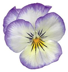 """""""Icicle Pansy Purple Tie-Dye"""" – Famous Last Words Watercolor Cards, Floral Watercolor, Watercolor Trees, Watercolor Landscape, Watercolour, Botanical Illustration, Botanical Art, Watercolor Paintings For Beginners, Watercolor Portraits"""