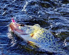 Read late summer crappie patterns for frenzied action - fishing reports-hunting - wisconsin, illinois, michigan, ca