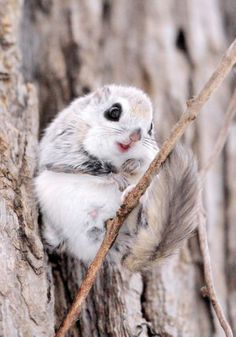 Japanese dwarf flying squirrel// cuteness//