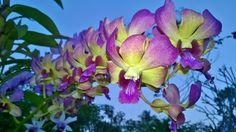 กล้วยไม้หวาย (Dendrobium hybrids)