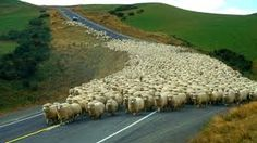 Image result for new zealand sheep