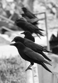 Crows in a Row | Flickr - Photo Sharing!