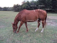 Acupressure for Colic in Horses: Using acupressure can help relieve symptoms of colic in horses. Apply light pressure to these specific points.