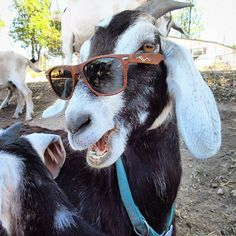 Goats in shades