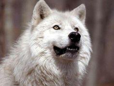 white-wolf-picture.jpg (1024×768)