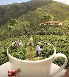 coffee fields😍 image by Discover all images by Find more awesome colombian images on PicsArt. Farm Photography, Coffee Photography, Coffee Drinks, Coffee Cups, Coffee Bean Art, Coffee Plant, Mobile Coffee Cart, Coffee World, Arabic Coffee