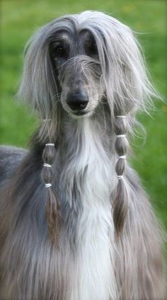 Soraya Khaos Dewberry... like a supermodel lol or Farrah in dog form!. #dog #puppy #afghanhound Read More -->