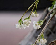 Luturuoho  Arabidopsis thaliana