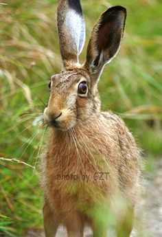 Mad June hare, spotted 2 in Scotland going to Glentress (2nd June), and another one spotted by Miles at Glentress (3rd June)