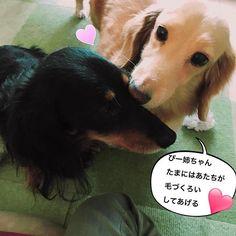 今朝は珍しくうーちゃんがぴーちゃんの毛づくろいをしてあげてました😊いつもぴーちゃんがうーちゃんの面倒見てあげてるからね。うーちゃん、感謝だね💕 #ミニチュアダックス #ミニチュアダックス倶楽部 #ミニチュアダックスフンド #ミニチュアダックス大好き #ダックス #ダックス倶楽部 #愛犬 #犬は家族 #犬との暮らし #犬との生活 #犬との日々 #犬らぶ #犬らぶ部 #犬ばか #犬ばか部  #いぬは家族 #みにちゅあだっくす #みにちゅあだっくすふんど #短足部 #minichuaducks #instadog  #ilovemydog #癒しわんこ #たんそく部  #今日のわんこ #今日のダックスフンド #minichuadachshund  #minichuadachs  #ミニチュアダックスクリーム