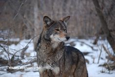 Red wolf at Wildlife Science Center, a Red Wolf Species Survival Plan Participant, photo credit theirs.