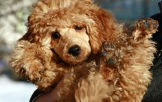 Small Poodle 10 Small Dog Breeds for Therapy: Animal Planet