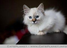Meet Phoebe my Neva Masquerade - CatsPlanet.info