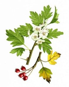 Death Doula's Toolbox: Herbal Education Hawthorn is for Heartbreak (and mo Botanical Illustration, Botanical Prints, Johanna Basford Coloring Book, Plant Drawing, Garden In The Woods, Nature Journal, Lily Of The Valley, Flower Photos, Vegetables