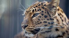 leopard pic for mac, 522 kB - London Young