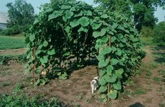 Gourd arbor in late summer with helper cat. This simple arbor was made with fence posts and cattle panels.