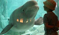 BRAVO! The U.S. Is Taking A Major Step Toward Ending Beluga Whale Captivity